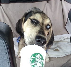 Truman licking his Starbucks puppicino.